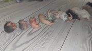 Мыши,  крысы кормовые,  разных размеров,  замороженные.