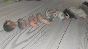 Кормовые мыши,  крысы разных размеров,  заморозка.